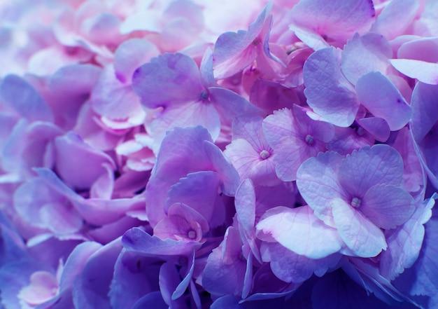Красивая цветущая нежная розовая текстура цветов гортензии