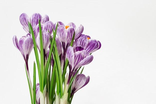 Beautiful blooming flower crocuses purple colored.