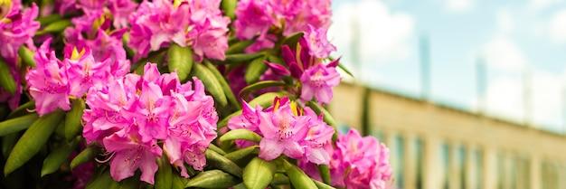 美しい咲くピンクのツツジ-シャクナゲ属の開花低木。ピンク、夏の花の背景。園芸。