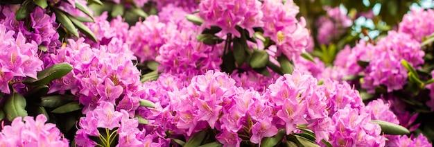 美しい咲くピンクのツツジ-シャクナゲ属の開花低木。ピンク、夏の花の背景。園芸