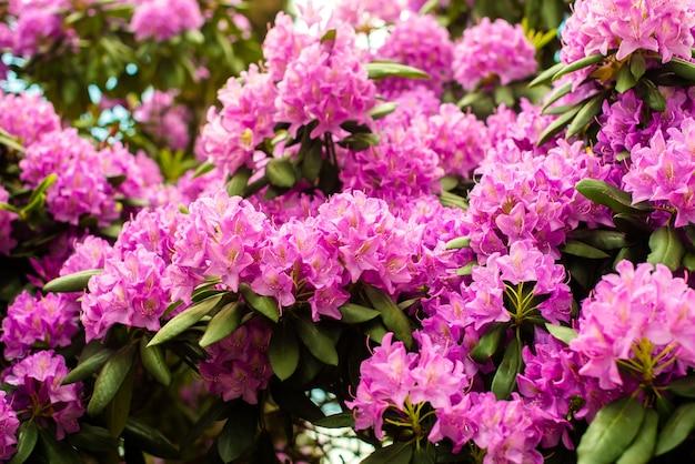 シャクナゲ属の美しい咲くピンクのツツジの開花低木。ピンク、夏の花