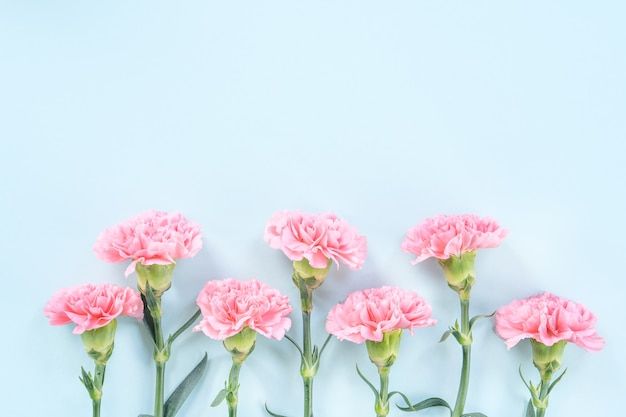 Beautiful blooming pink carnations isolated on bright light blue background, copy space, flat lay, top view