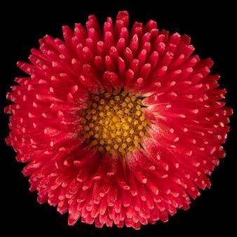 Красивый цветущий розовый цветок маргаритки герберы на черном фоне. фото крупным планом.