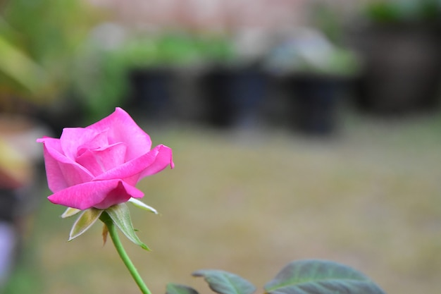 Beautiful blooming pink rose flower with blur background
