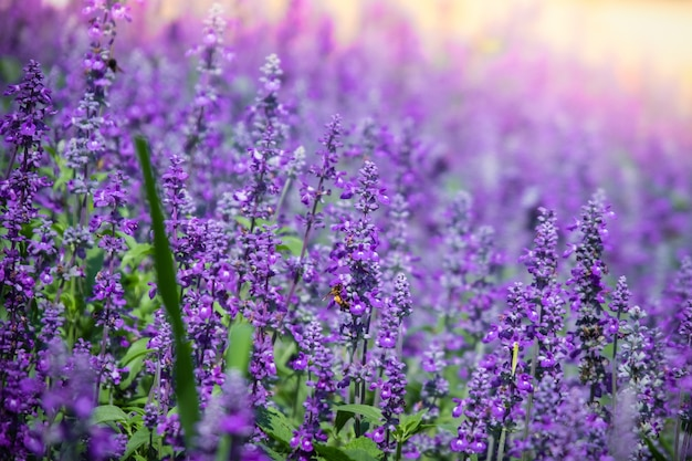 Beautiful blooming purple salvia (blue sage) flower field in outdoor garden