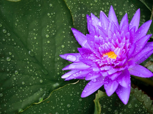 Beautiful blooming purple water lily or lotus flower covered with many water drops after raining on green lotus leaves with copy space.