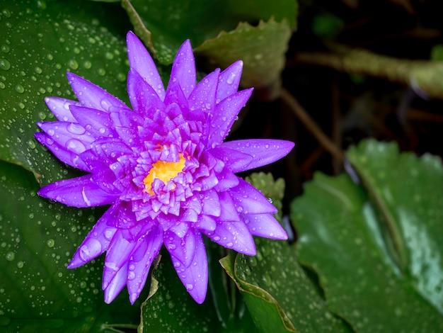 コピースペースのある緑の蓮の葉に雨が降った後、多くの水滴で覆われた美しい咲く紫のスイレンや蓮の花。