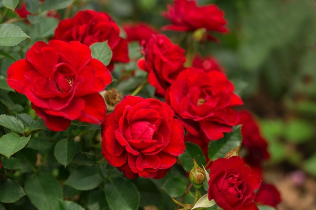 Beautiful blooming red rose bushes in a garden