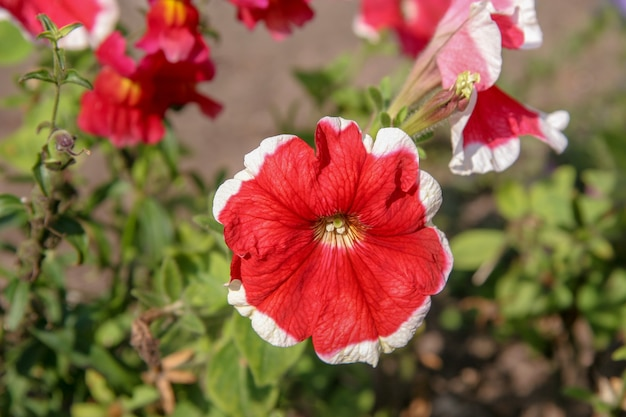 Красивый цветущий красный цветок с белой каймой на размытом фоне. на фоне еще каких-то нерезких цветов. фон зеленый оттенок.