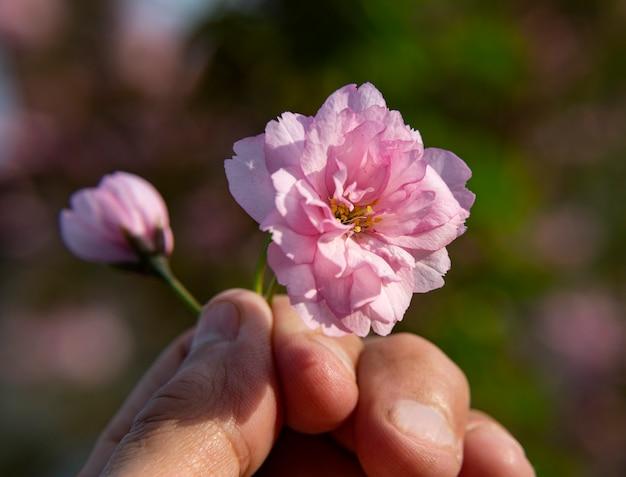 화창한 빛에 아름 다운 개화 사쿠라 지점입니다. 봄철에 분홍색 사쿠라 꽃. 아름다운 일본 벚꽃