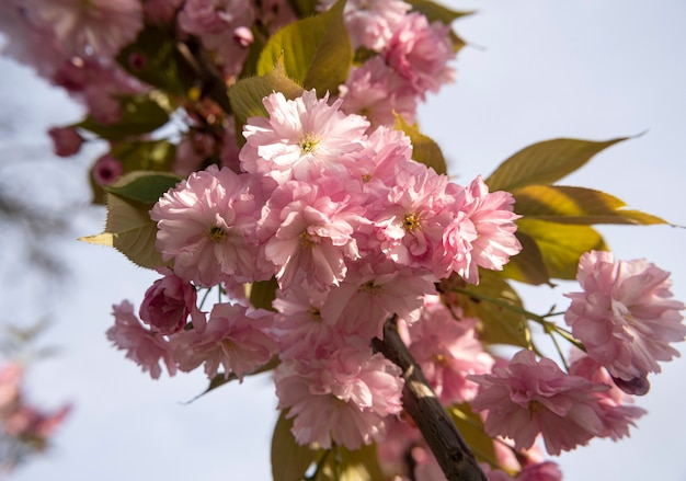 화창한 빛에 아름 다운 개화 사쿠라 지점입니다. 봄 날에 나무에 핑크 사쿠라 꽃입니다. 아름다운 일본 벚꽃