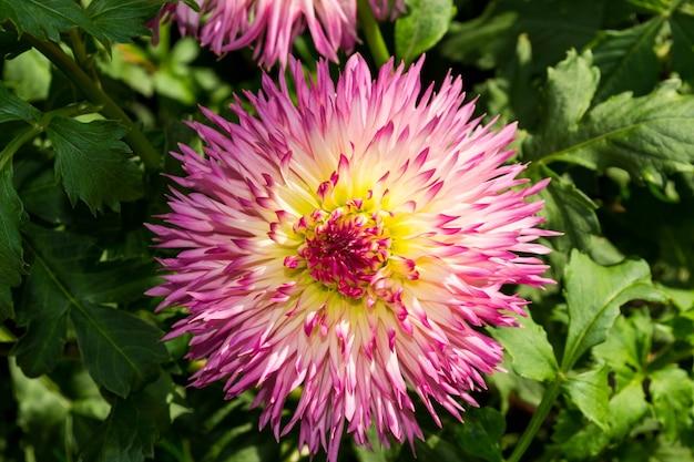 美しい咲く夏の花ダリア