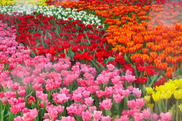 The beautiful blooming tulips in garden. tulips flower close up under natural lighting outdoor