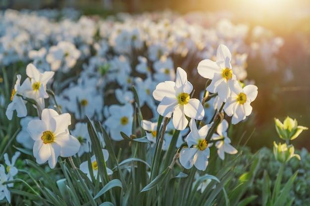 Красивые цветущие белые нарциссы