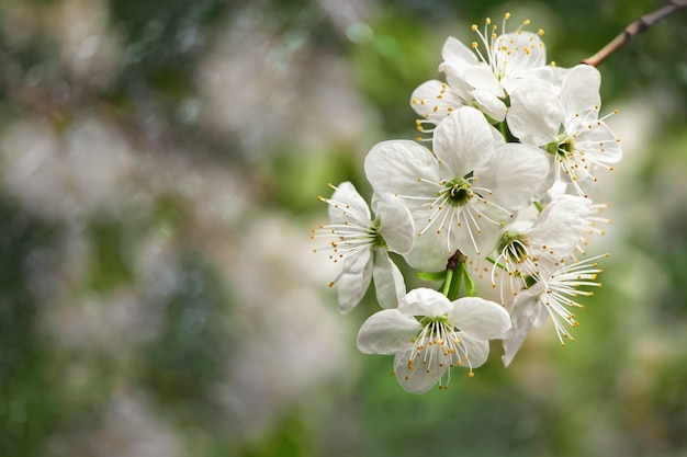 Beautiful blooming white flowers over natural green nature background with copy space soft focus