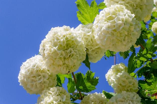 青空を背景に美しい咲く白い花ガマズミ属の木