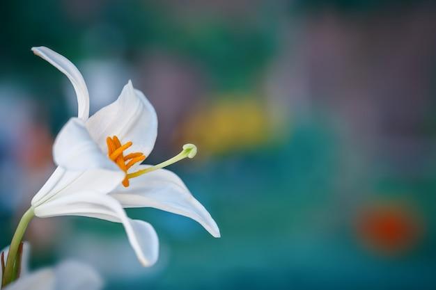 庭に咲く美しい白いユリ。