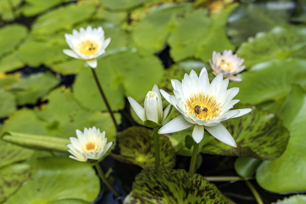 Beautiful blooming white water lily (lotus) with a foraging bee