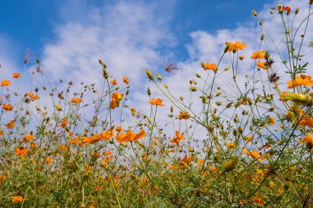 雲と青い空と美しい咲く黄色いコスモスの花。