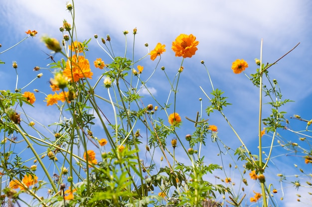 Beautiful blooming yellow cosmos flower with clouds and blue sky.