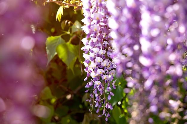 태양 광선으로 등나무의 아름다운 꽃전통 일본 꽃보라색 꽃