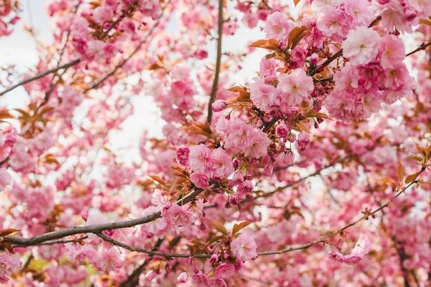 부드러운 태양 백라이트, 꽃이 만발한 봄 배경, 정원에서 산책하는 아름다운 꽃 핑크 사쿠라 벚꽃