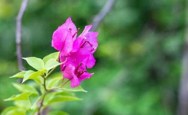 選択的な焦点と柔らかい緑のボケ背景に緑の葉を持つ美しい花の咲くピンクのブーゲンビリアの花
