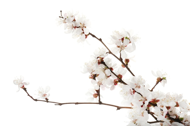 Beautiful blossoming branches on white