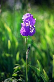 Красивый распускающийся бутон фиолетового цветка ириса в высокой зеленой траве (фокус на цветке) вертикальное фото