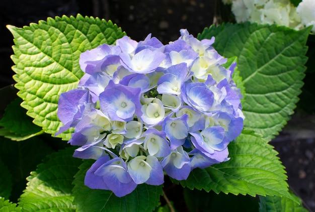 Красивые цветущие нежные голубые цветы гортензии