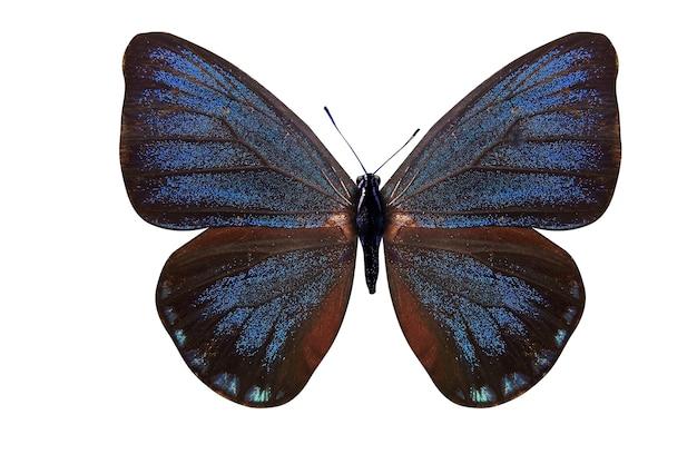 아름 다운 푸른 나비. eumaeus의 품종. 흰색 배경에 고립