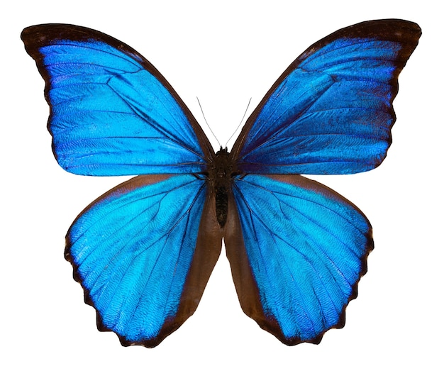 Beautiful blue butterfly isolated on white. morpho didus.