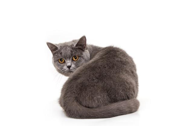 아름다운 파란 고양이