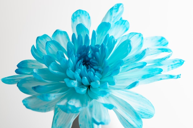 Beautiful blue chrysanthemum flower over the bottle on white background