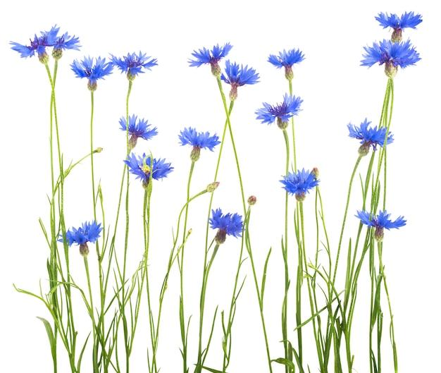 아름 다운 푸른 수레 국화 절연
