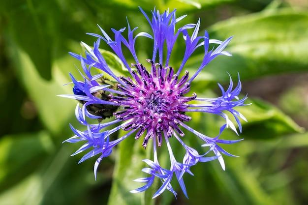美しいブルーコーンフラワー普通のブルー。農業の概念。花のクローズアップ