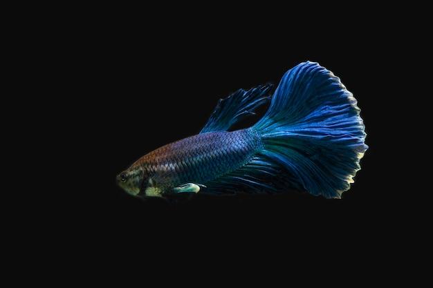 黒の背景に美しい青い戦いの魚