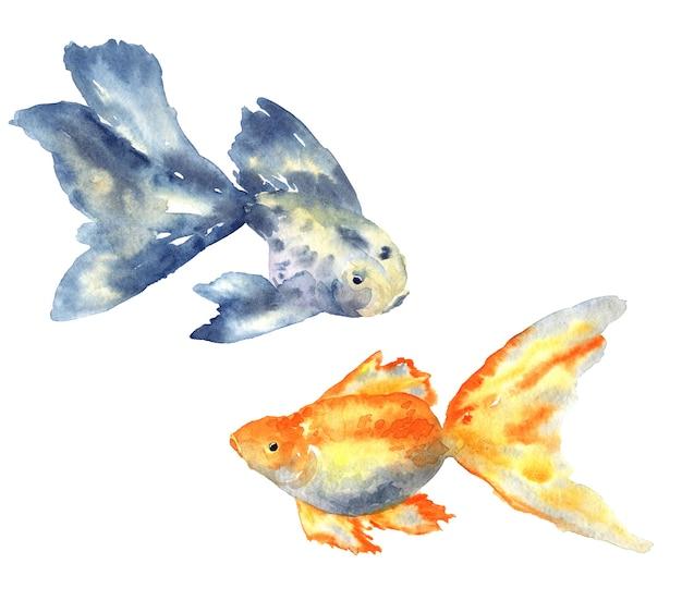 큰 지느러미와 금붕어가있는 아름다운 푸른 물고기. 손으로 그린 수채화 그림. 외딴.