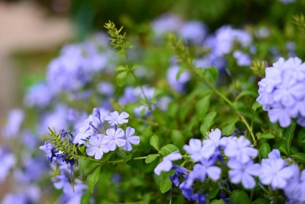 Beautiful blue flower name plumbago auriculata lam