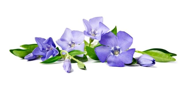 白い背景で隔離の美しい青い花ツルニチニチウ