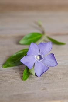 Beautiful blue flower periwinkle on wooden table