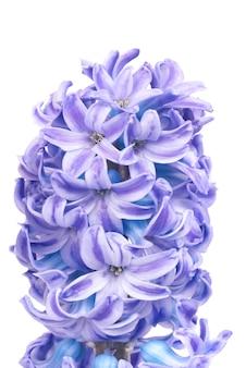 白で隔離される美しい青い花ヒヤシンス。春のマクロの背景