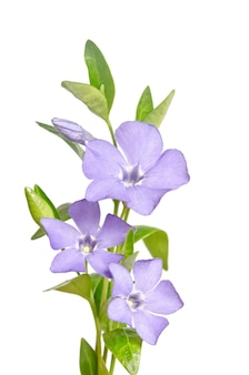 Beautiful blue flowers periwinkle isolated on white