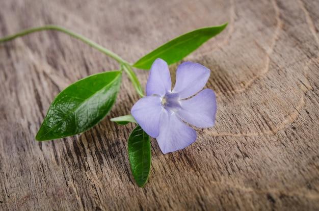 Beautiful blue flowers periwinkle