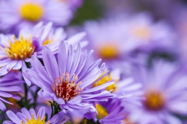 가을 정원의 아름다운 푸른 꽃 사파이어 미스터