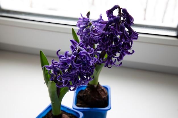 아름다운 푸른 히아신스 꽃은 창틀에 있는 흰색 냄비에 꽃이 피고 유리 뒤에 흐릿한 배경이 있는 나무에 히아신투스, 가족의 향기로운 꽃 식물, 가정 장식.