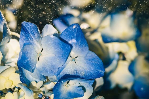 Beautiful blue hydrangea flowers under raindrops close-up