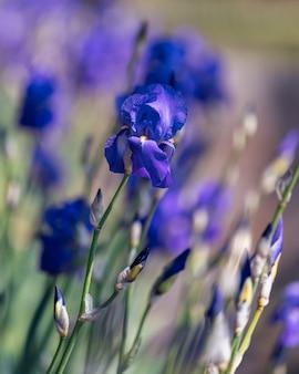 Красивые синие цветы ириса в парке крупным планом