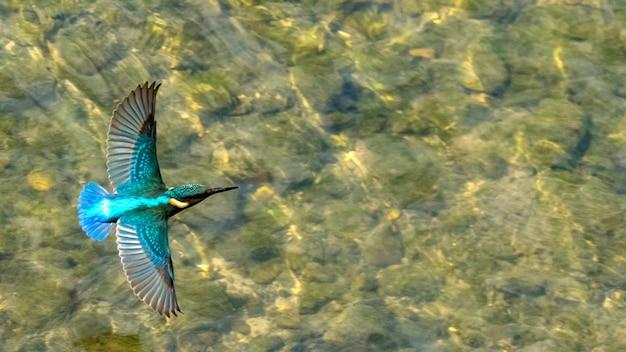 Красивая синяя птица зимородок летит в сочи