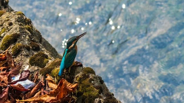 Beautiful blue kingfisher bird in sochi